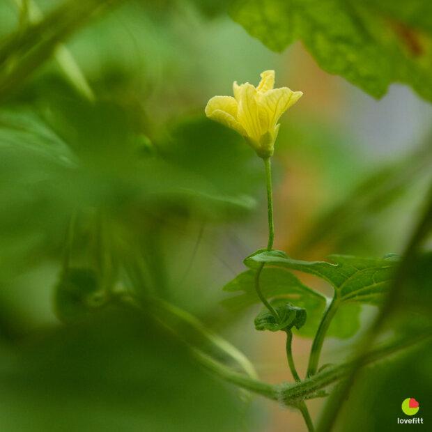 ดอกมะระตัวผู้